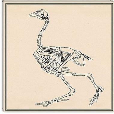 iCanvas ''Dorking Hen Skeleton'' by George Stubbs Graphic Art on Canvas; 37'' H x 37'' W x 0.75'' D