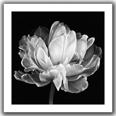 "ArtWall ""Tulipa Double Black and White II"" Flat Unwrapped Canvas Art By Cora Niele, 36"" x 36"""