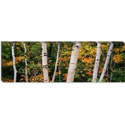 iCanvas Panoramic Birch Trees in a Forest, New Hampshire Photographic Print on Canvas