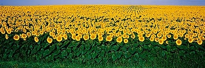 iCanvas Panoramic Sunflower Field, Maryland Photographic Print on Wrapped Canvas