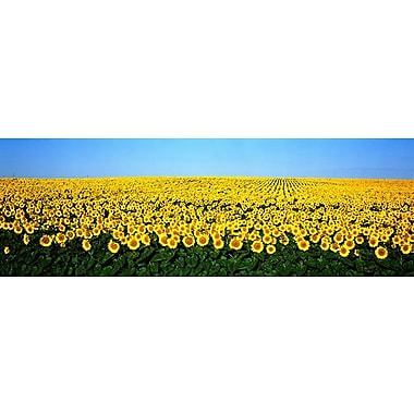 iCanvas Panoramic Sunflower Field, North Dakota Photographic Print on Wrapped Canvas
