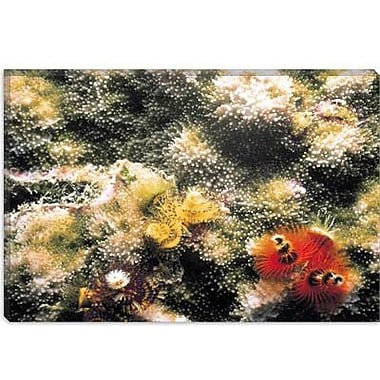 iCanvas Marine and Ocean 'Spiral Coral #2' Photographic Print on Canvas; 12'' H x 18'' W x 1.5'' D