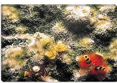 iCanvas Marine and Ocean 'Spiral Coral #2' Photographic Print on Canvas; 40'' H x 60'' W x 1.5'' D