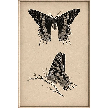 iCanvas Animal Art Vintage Butterfly Scientific Drawing Graphic Art on Wrapped Canvas