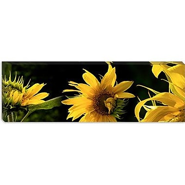 iCanvas Panoramic Sunflowers Photographic Print on Wrapped Canvas; 12'' H x 36'' W x 1.5'' D