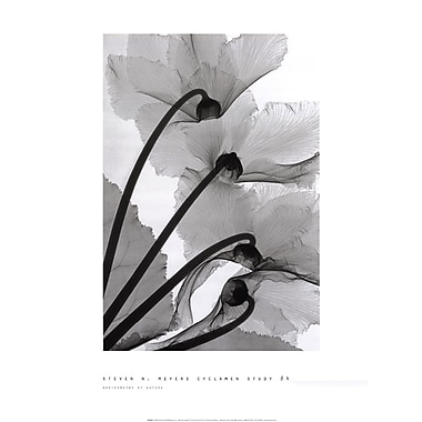Evive Designs Cyclamen Study by Steven N. Meyers Photographic Print