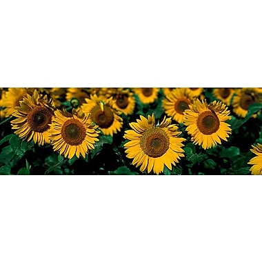 iCanvas Panoramic Sunflowers ND Photographic Print on Wrapped Canvas; 16'' H x 48'' W x 1.5'' D