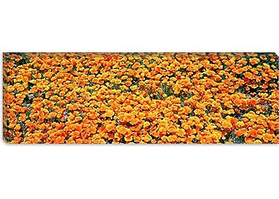 iCanvas Panoramic Antelope Valley California Poppy Reserve Photographic Print on Canvas