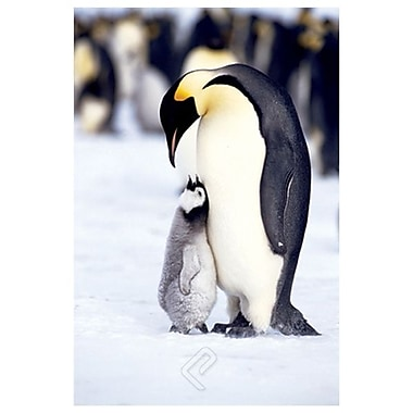 Penguins - Maternal Moment, Stretched Canvas, 24