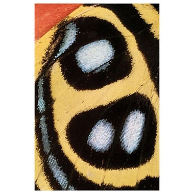 Callicore Sorana de Burk, toile, 24 x 36 po
