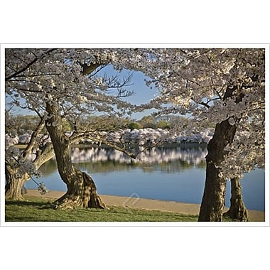 Cherry Blossoms by Brodzinski, Canvas, 24