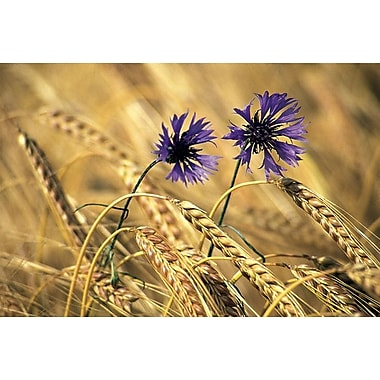 Corn Flowers, Stretched Canvas, 24