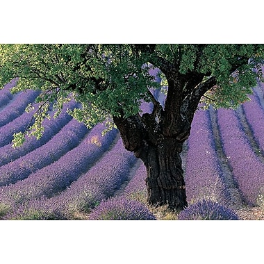 Old Tree Provence Lavender, Stretched Canvas, 24