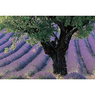 Vieil arbre sur champ de lavande provençal, toile tendue, 24 x 36 po