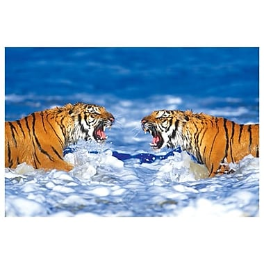 Bengal Tigers Roaring, Stretched Canvas, 24