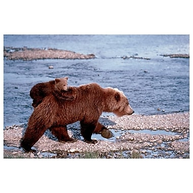 Brown Bear Carrying Cub, Stretched Canvas, 24