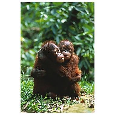 Orangutans, Stretched Canvas, 24