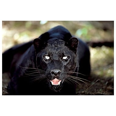 Black Panther Close Up, Stretched Canvas, 24