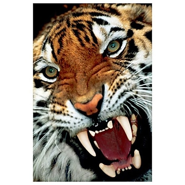 Bengal Tiger Close-Up, Stretched Canvas, 24