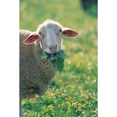Sheep Look, Stretched Canvas, 24