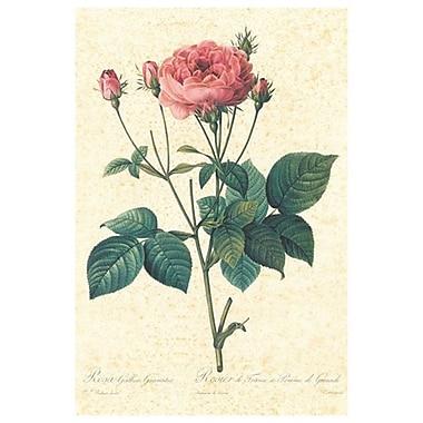 Rosier de France de Redouté, toile, 24 x 36 po