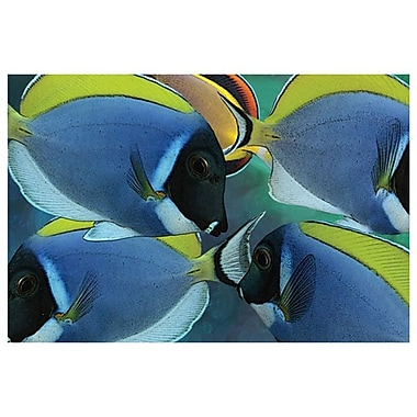 Poissons chirurgiens bleus de Bradshaw, toile, 24 x 36 po