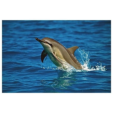 Dolphin, Stretched Canvas, 24