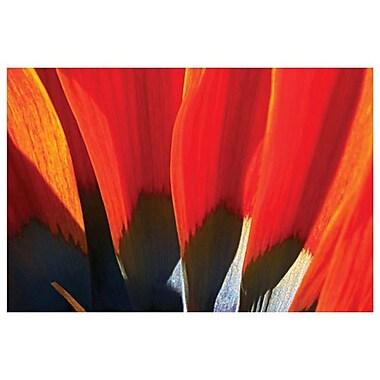 Gazania Petals by Davis, Canvas, 24