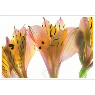 Alstroemeria de Davis, toile de 24 x 36 po