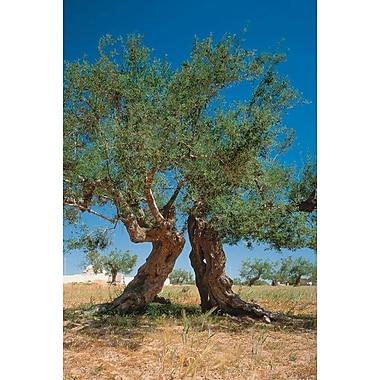 Oliviers, Djerba Tunisie, toile tendue, 24 po x 36 po