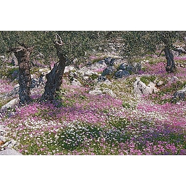 Greek Garden Olive Trees, Stretched Canvas, 24