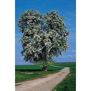 Flowering Tree Beside A Road, Stretched Canvas, 24