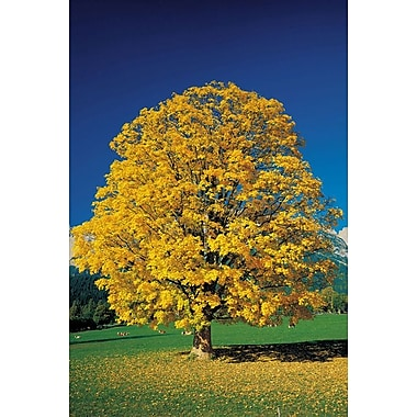 Golden Glowing Beech, Stretched Canvas, 24
