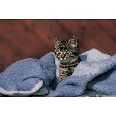 Chaton sur une couverture bleue, toile tendue, 24 x 36 po