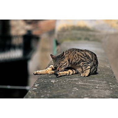 Cat On A Wall, Stretched Canvas, 24