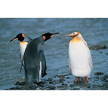 Two King Penguins And Albino, Stretched Canvas, 24