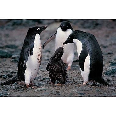 Famille de pingouins d'Adélie, toile tendue, 24 x 36 po