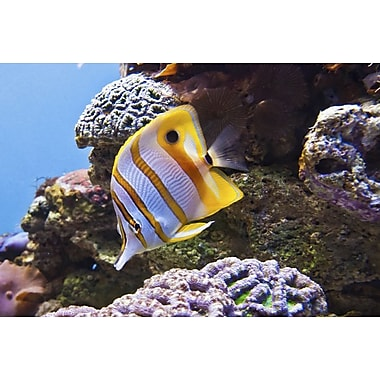 Copperband Butterfly Fish by Polk, Canvas, 24