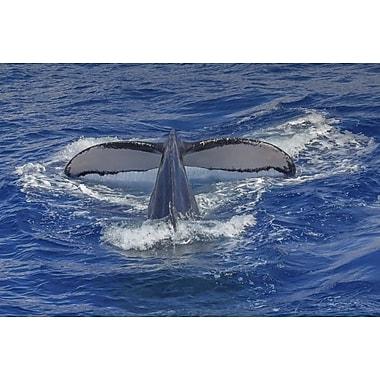 Baleine à bosse de Maui par Polk, toile, 24 x 36 po