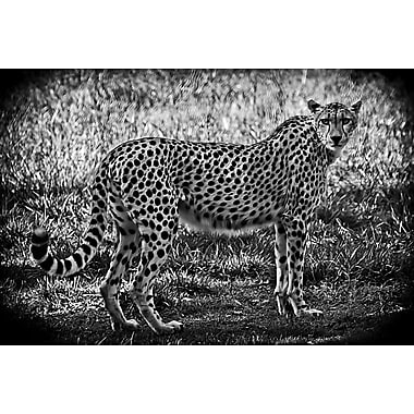 Cheetah B+W by Polk, Canvas, 24