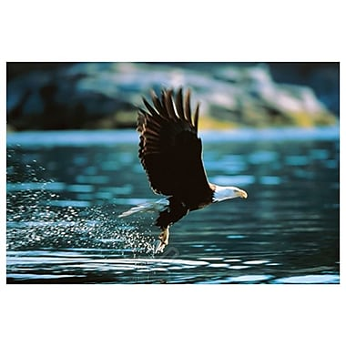 Bald Eagle Flying Low Water, Stretched Canvas, 24