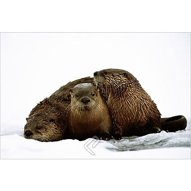 River Otters Poster, 36