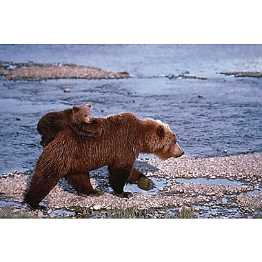 Brown Bear Carrying Cub Poster, 24