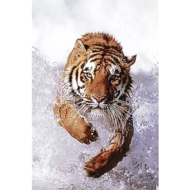 Tiger Running Through Water Poster, 24
