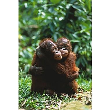 Orangutans Poster, 24