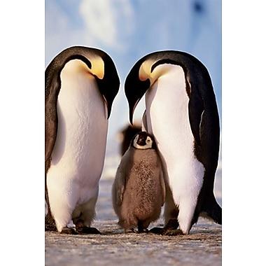 Famille de pingouins, affiche, 24 x 36 po