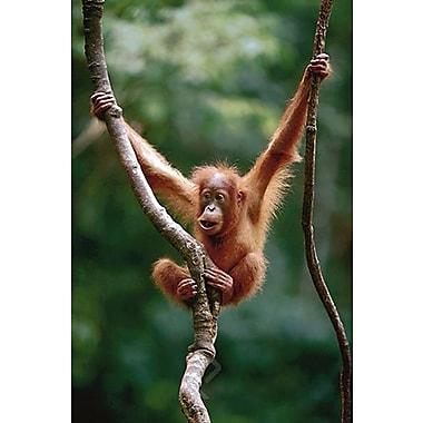 Orangutan Baby Poster, 24