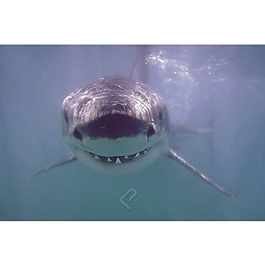 White Shark Poster, 24