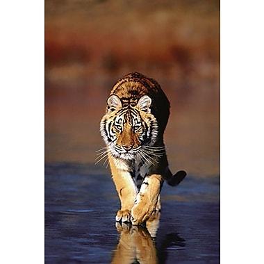 Tiger Walking Poster, 24
