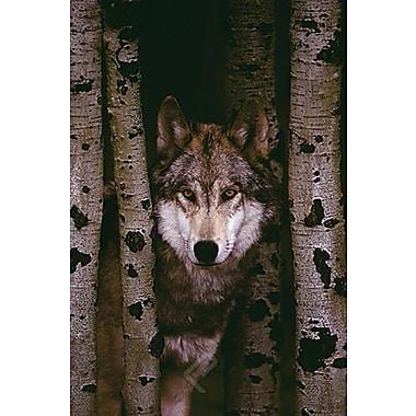 Loup gris, affiche, 24 x 36 po